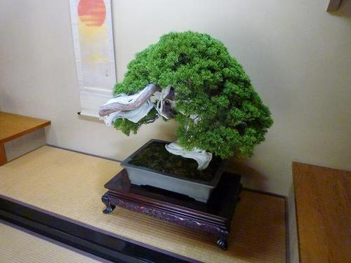A 'Bonsai', potted dwarfed tree, is one of Japan's art form to realize a shape of natural tree in a small plant pot.