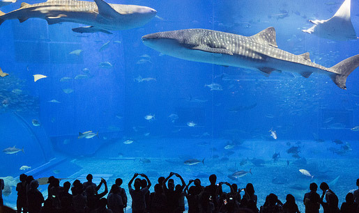 Visiting Japan's Largest Aquarium at Okinawa Churaumi Aquarium