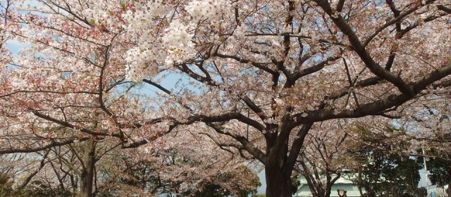 Top 10 Best Cherry Blossoms (Sakura) Viewing Spots in Yokohama