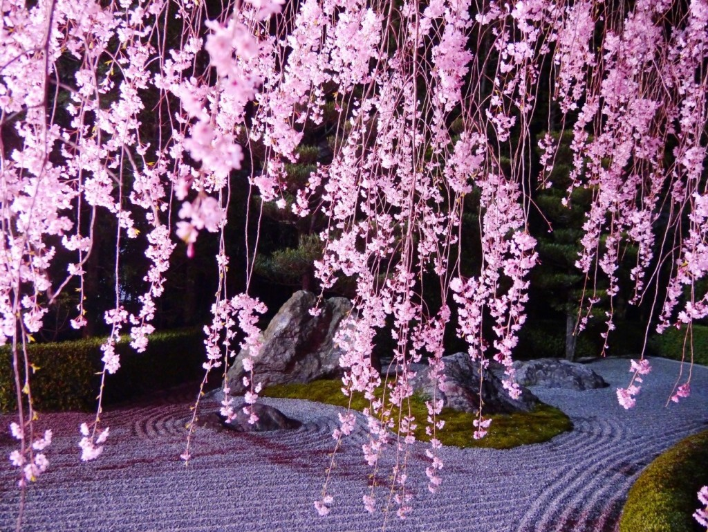 Myoshinji Cherry Blossom(2)